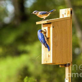 Alana Ranney - Male and Female Bluebirds