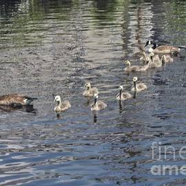 Male And Female Geese With Their Ducklings by John Telfer