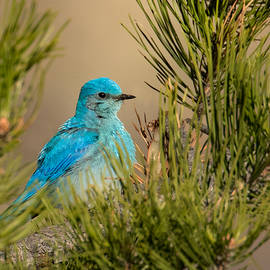 Lois Lake - Male Bluebird resting in the Pine Tree
