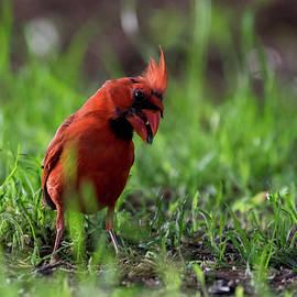 Bob Marquis - Male Cardinal