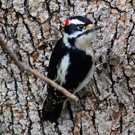 Alan C Wade - Male Downy Woodpecker - 1