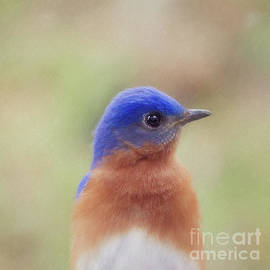 Scott Pellegrin - Male Eastern Bluebird Portrait - digital painting square