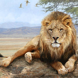 Male Lion Reclining