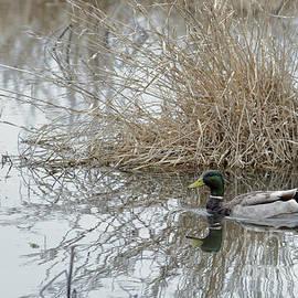 Alan Look - Male Mallard Duck 0418 1