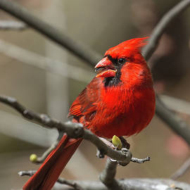 Male Northern Cardinal in Spring by John Haldane
