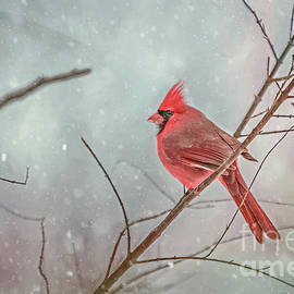 Peggy Franz - Male Northern Cardinals