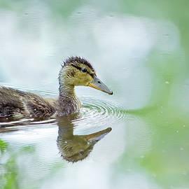 Oksana Ariskina - Mallard Duck on a lake