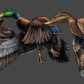 Rob Corsetti - Mallard ducks in flight