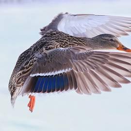 Lynn Hopwood - Mallard flying in winter