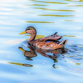 Janet Argenta - Mallard in Blue Water