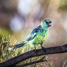 Mallee Ringneck Parrot Special Limited Offer by Ray Warren