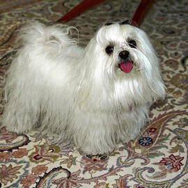 Maltese Showing Pink Tongue by Sally Weigand