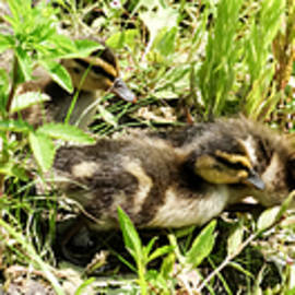 Cynthia Woods - Mama Duck and Her Baby Ducklings Tripych