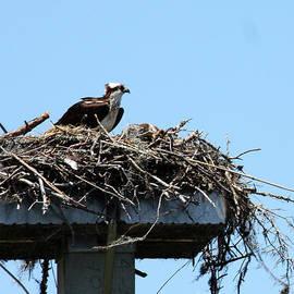Mama Osprey by Rick Locke