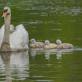 Linda Howes - Mama Swan and Babies