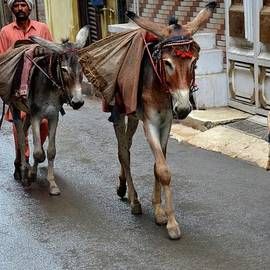 Imran Ahmed - Man transports goods on mules in narrow streets Lahore Pakistan