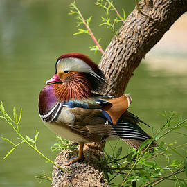Lucinda Walter - Mandarin Duck on Tree