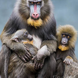 Abeselom Zerit - Mandrill Family II