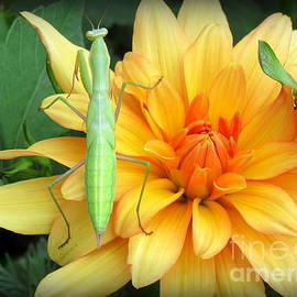 Krista Carofano - Mantis on Dahlia