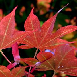 Arlane Crump - Maple Leaves