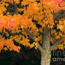 Maple standout by Frank Townsley