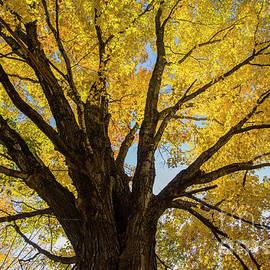 Alana Ranney - Maple Tree