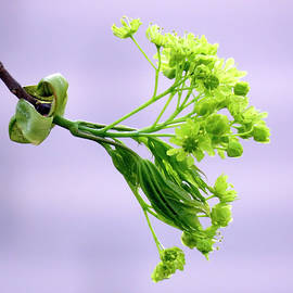 Johanna Hurmerinta - Maple Tree Flowers