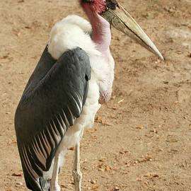 Marabou Stork  by Derrick Neill