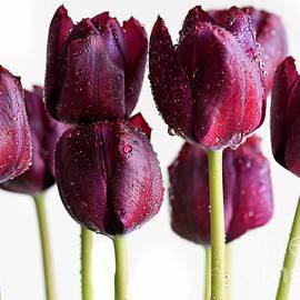 Tracy Hall - Maroon Tulips