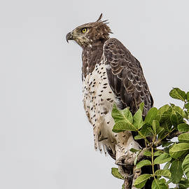Martial Eagle Overlooking The Bush by Morris Finkelstein