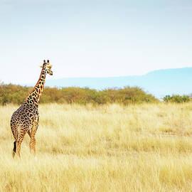 Masai Giraffe Walking in Kenya Africa - Susan Schmitz