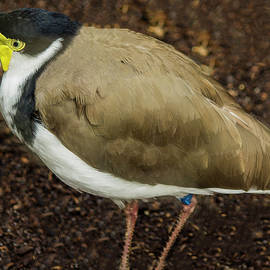 Tania Read - Masked Lapwing 2