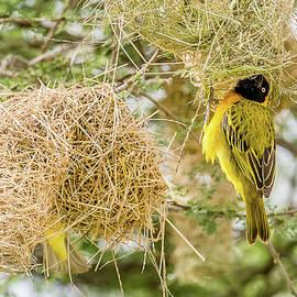 Morris Finkelstein - Lesser Masked Weaver And Nest