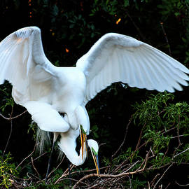 Norman Johnson - Mating Great White Egrets