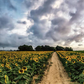 Mattituck Sunflower Cloud Road On Long Island, New York by Alissa Beth Photography
