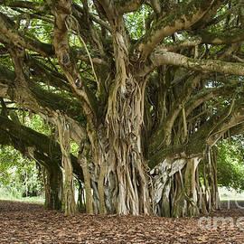 Mature Banyan Tree