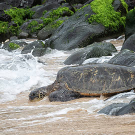 Maui Honu by Randy Hall