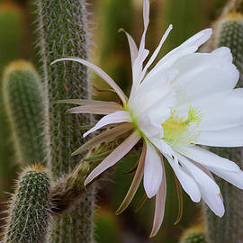 May cactus bloom  in the garden by Ruth Jolly