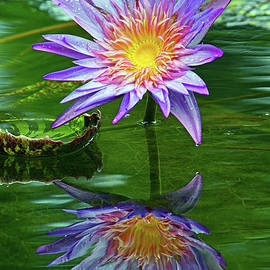 Larry Nieland - McKee Water Lily