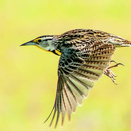 Norman Johnson - Meadowlark In Flight