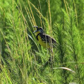 William Tasker - Meadowlark In Song