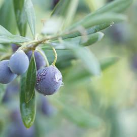 Svetlana Yelkovan - Mediterranean Olives