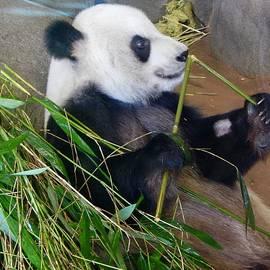 Terry Cobb - Memphis Zoo Panda