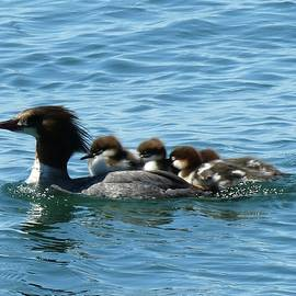 Merganser And Her Chicks by Dennis McCarthy