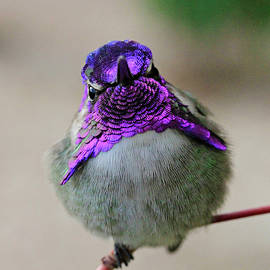 Metallic Hummingbird by Shoal Hollingsworth