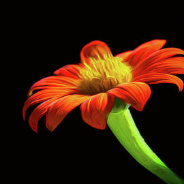 Mexican Sunflower by Paul Malen