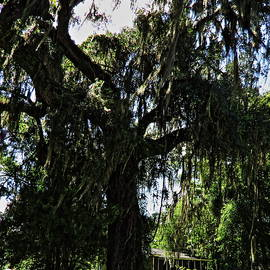 Roger Epps - Micanopy Trees