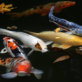 Midnight Koi by Wes and Dotty Weber