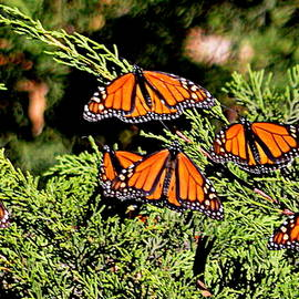 Migrating Monarchs by AJ Schibig