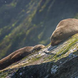 Joan Carroll - Milford Sound New Zealand Fur Seals
